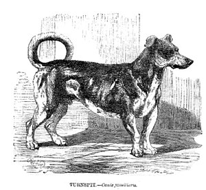 Turnspit dog - Illustration from The Illustrated Natural History (Mammalia), published in 1853 showing the conformation of a Turnspit Dog.