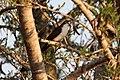 Turtur tympanistria -near Hluhluwe, KwaZulu-Natal, South Africa-8.jpg