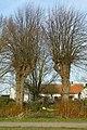 Twee gekandelaarde linden als welkomstbomen te Zwalm - 372487 - onroerenderfgoed.jpg