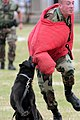US Navy 040329-N-3228G-015 Appie, a Belgian Malinois Military Working Dog (MWD), tackles Master-at-Arms 3rd Class Eliot Fiaschi under the control of his handler Master-at-Arms 2nd Class Ron Carter.jpg