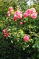 Uetersen rosarium kaskadenrose 'uetersen rosarium' wo kordes soehne 1977.JPG