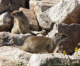 Uinta Ground Squirrels.jpg