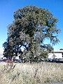Ulmus glabra subsp. montana. Near Jack Kane Sports Centre, Edinburgh (1).jpg