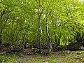 Un bosque de hayas (12278341543).jpg