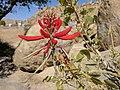 Unidentified red flower in Arizona.jpg