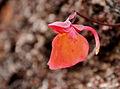Utricularia Quelchii Mount Roraima.jpg