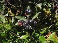 Vaccinium consanguineum detalle de frutos.JPG