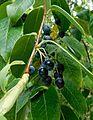 Vaccinium gaultheriifolium 2.jpg
