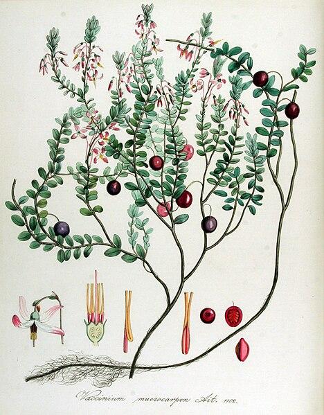 canneberge  planche botanique