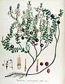 Vaccinium macrocarpon — Flora Batava — Volume v14.jpg