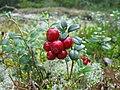 Vaccinium vitis-idaea 20060824 001.jpg