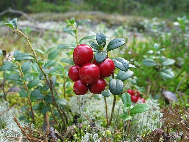 Brusnice - veľmi zdravé ovocie