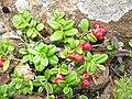 Vaccinium vitis-idaea Japan2.JPG