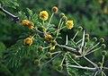 Vachellia nilotica kraussiana 3.jpg
