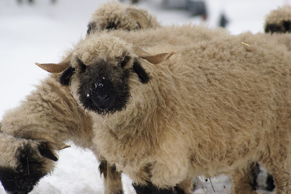Valais blacknose wikipedia sciox Images