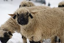 Valais Blacknose Sheep.jpg