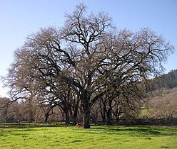 Valley oak.jpg