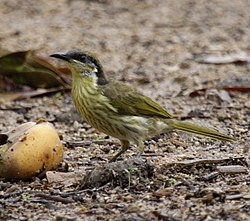Varied honeyeater portland08.JPG