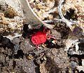 Velvet Mite.Microtrombidiidae. - Flickr - gailhampshire (1).jpg