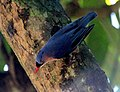 Velvet fronted nuthatch searching food.jpg