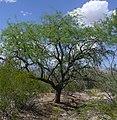 Velvet mesquite.jpg