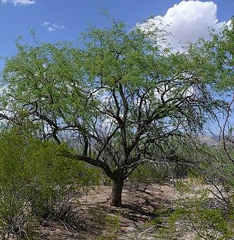 Prosopis velutina - Image: Velvet mesquite