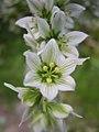 Veratrum californicum closeup-7-06-04.jpg