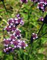Verbana bonariensis (18812341492).jpg