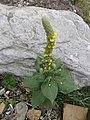 Verbascum thapsus - great mullein on way from Govindghat to Gangria at Valley of Flowers National Park - during LGFC - VOF 2019 (12).jpg