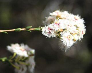 <i>Verticordia inclusa</i> Species of shrub