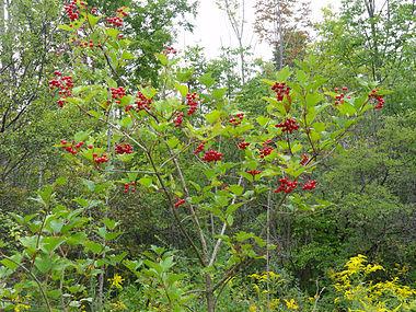 Viburnum opulus SCA-02512.jpg