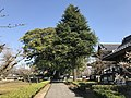 View of grand camphor tree of Zendoji Temple.jpg