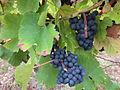 Vigne Louis Pasteur 014.JPG