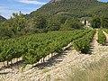 Vignoble des coteaux-des-baronnies en septembre.jpg