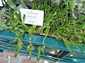 Villadia batesii - Botanical Garden in Kaisaniemi, Helsinki - DSC03710.JPG