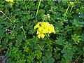 Vinagrillo (Oxalis pes-caprae).jpg