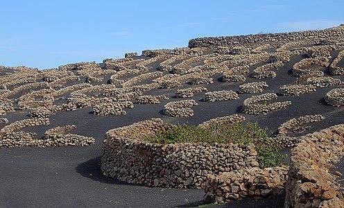 Vineyard cultivation near Tiagua, Municipio de Teguise, Lanzarote, Canary Islands, Spain.