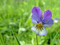 Viola Tricolor-8881.jpg