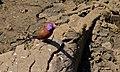 Violet-eared Waxbill (Granatina granatina) male (8539732610).jpg