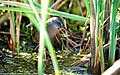 Virginia Rail (Rallus limicola) (18201180658).jpg
