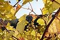 Vitis vinifera Wildbacher Herbstblätter und Trauben 01.jpg