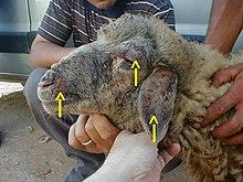 Sheepox disease hastası koyun