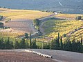 Vue partielle du vignoble de Montauriol, au Nord-est de la commune, depuis le Puig Rabiol, en automne.jpg