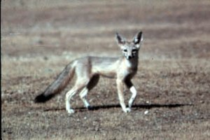 South Belridge Oil Field - The San Joaquin kit fox. Kit foxes can be found on the South Belridge and other Kern County oil fields, as they are tolerant of disturbance, and sometimes use pipes and man-made openings as dens.