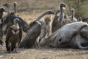 White-rumped vulture - Vultures and a golden jackal feeding on a carcass in Madhav National Park, India