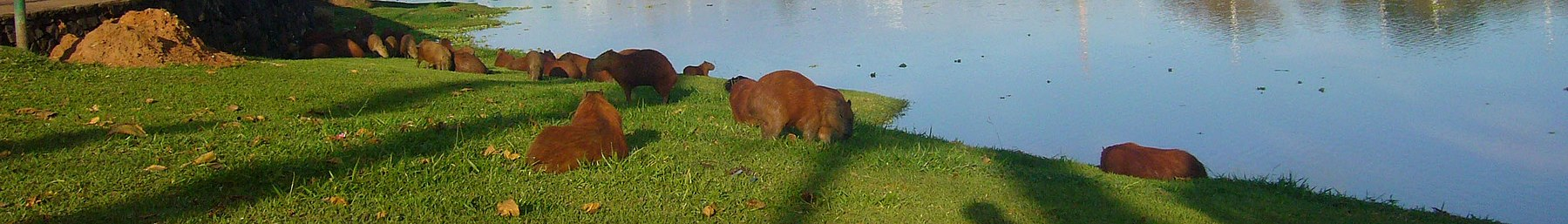 WV banner NW Sao Paulo Capybaras on riverbank.jpg