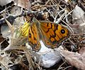 Wall Brown. Lasiommata megera - Flickr - gailhampshire (2).jpg