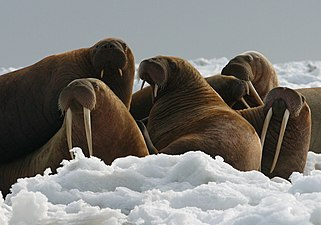 Walrus Cows and Yearlings on Ice.jpg