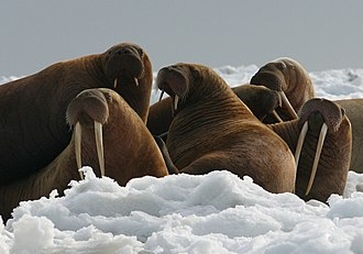 Walrus - Walrus cows and yearlings (short tusks).  Photo courtesy USFWS