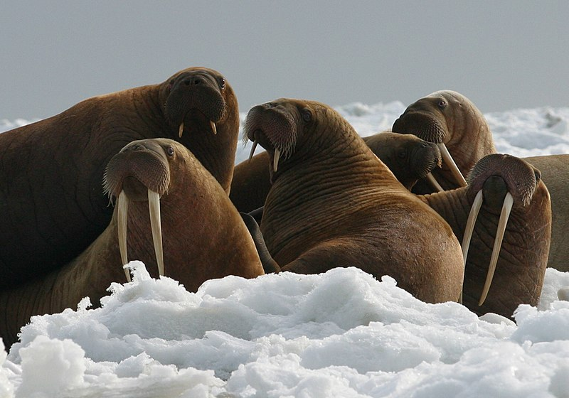File:Walrus Cows and Yearlings on Ice.jpg